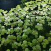 Giant Duckweed (Spirodela polyrhiza) - portion
