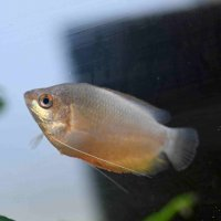 Honey Gourami Red (Trichogaster chuna) - small