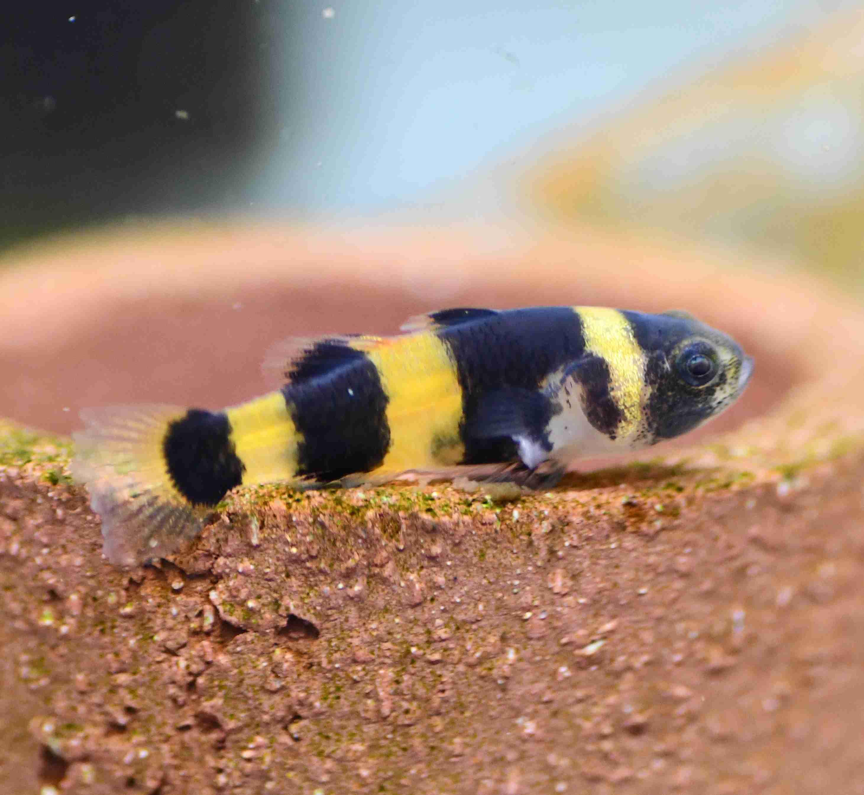 Bumblebee Goby (Brachygobius doriae)
