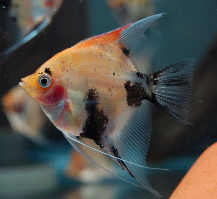 Orange koi angelfish duzzee for Red devil fish for sale