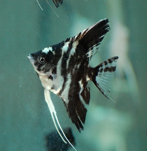 Black, marble and silver angelfish - Duzzee