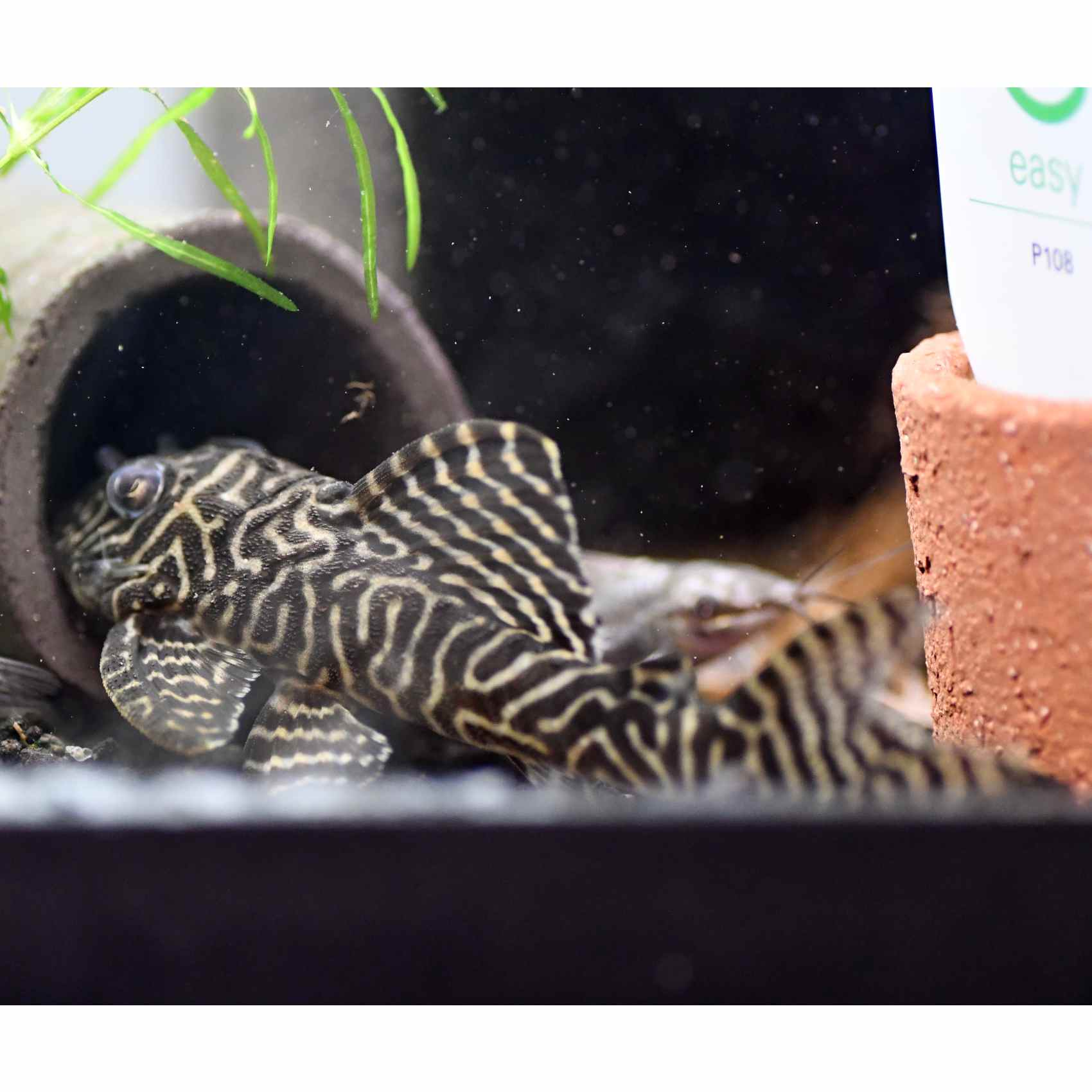 L066 - King Tiger Pleco - $75 00
